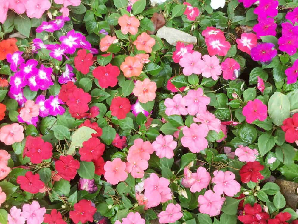 76 Types Of Annuals A To Z Photo Database