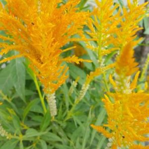 Canadian goldenrod_Solidago canadensis