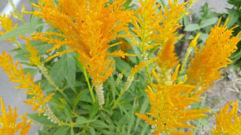 Canadian goldenrod