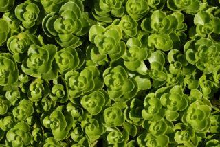 """Caucasian stonecrop (Sedum spurium """"Album Superbum"""")"""