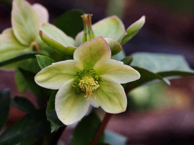 Christmas rose_Helleborus 'Walhelivor' IVORY PRINCE