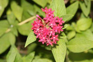 Egyptian star flower (Pentas lanceolata)