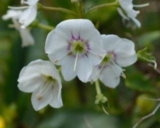 Gentian speedwell (Veronica gentianoides)