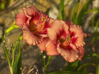 """Tetraploid daylily (Hemerocallis """"Strawberry Rose"""")"""