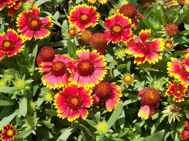 Indian blanket_Gaillardia pulchella