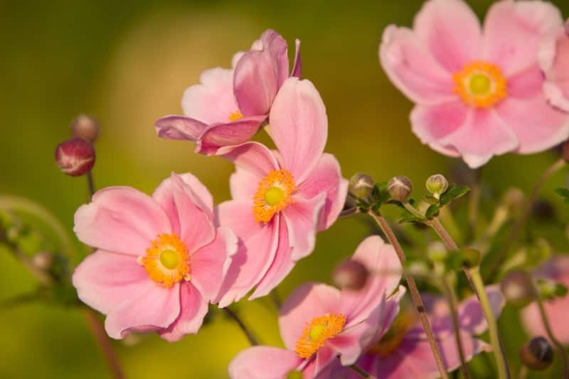 Japanese anemone_Anemone × hybrida 'September Charm'