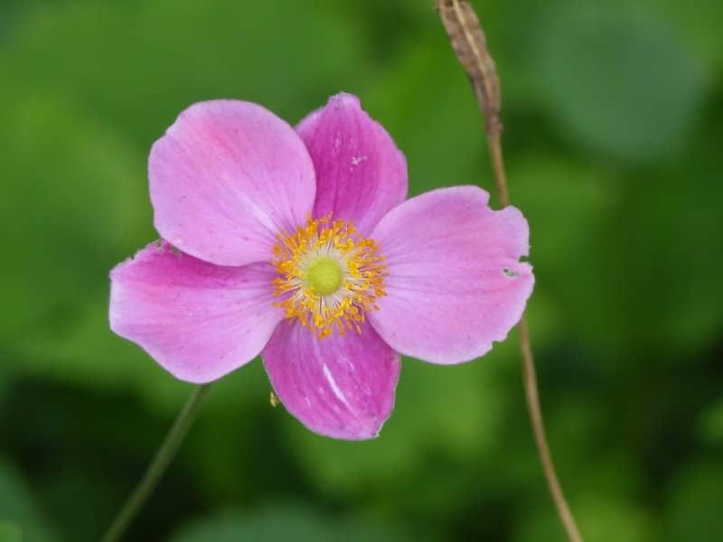 Japanese anemone_Anemone hupehensis 'Hadspen Abundance'