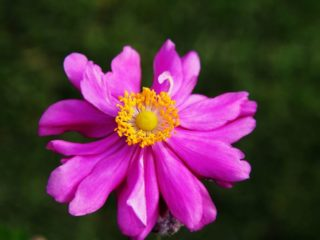 "Japanese anemone (Anemone hupehensis var. japonica ""Prinz Heinrich"")"