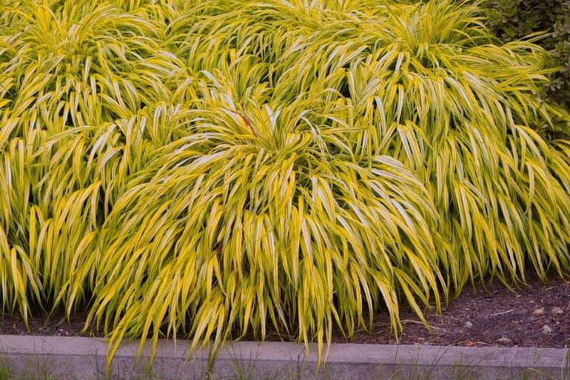 Japanese-forest-grass_Hakonechloa-macra