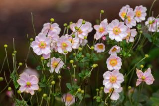 Japanese thimbleweed (Anemone hupehensis)