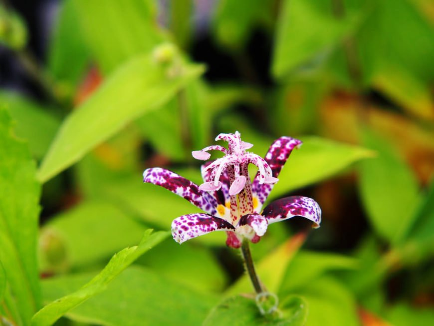 Japanese-toad-lily_Tricyrtis-hirta