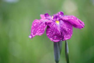 Japanese water iris (Iris ensata)