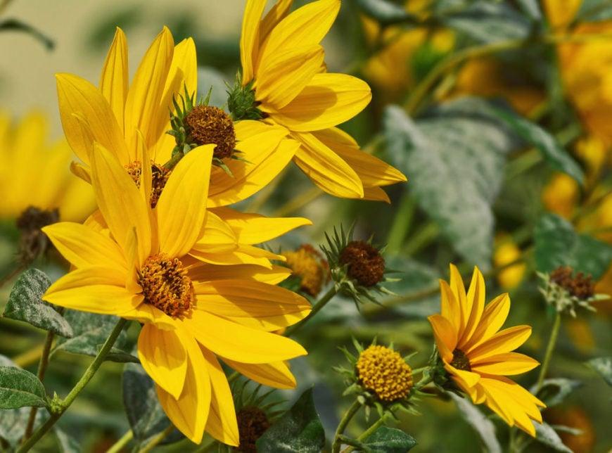 Maximilian sunflower_Helianthus maximiliani