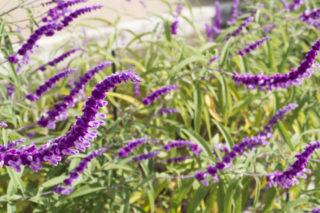 Mexican bush sage (Salvia leucantha)
