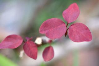 Mexican shrubby spurge (Euphorbia cotinifolia)