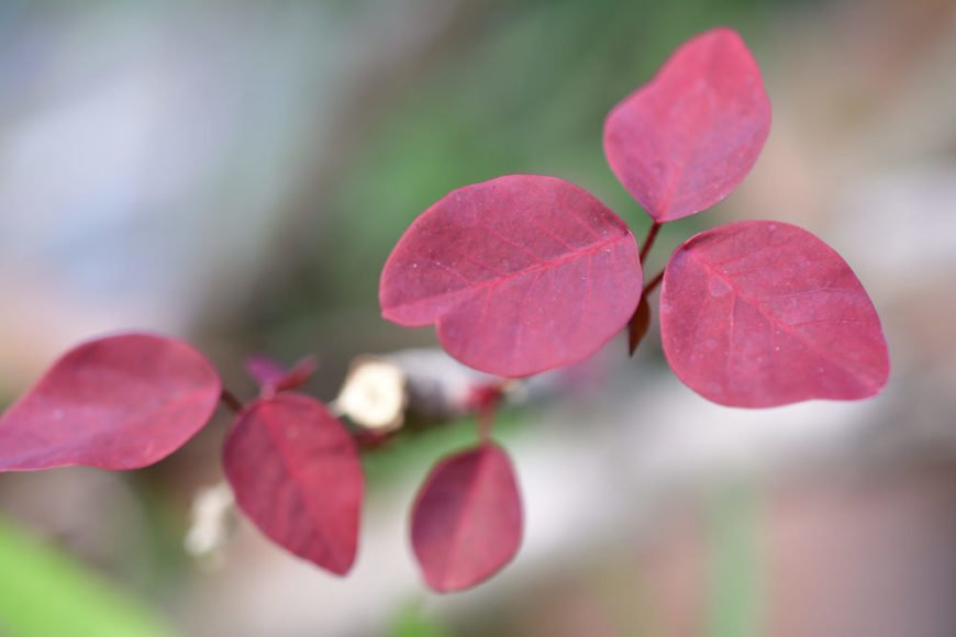 Mexican shrubby spurge_Euphorbia cotinifolia