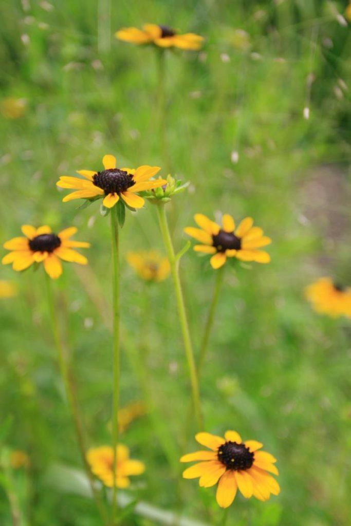 Missouri coneflower_Rudbeckia missouriensis