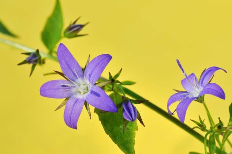 Serbian bellflower_Campanula poscharskyana 'Stella'
