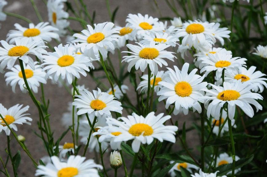 Shasta -Daisy_Leucanthemum-×-Superbum