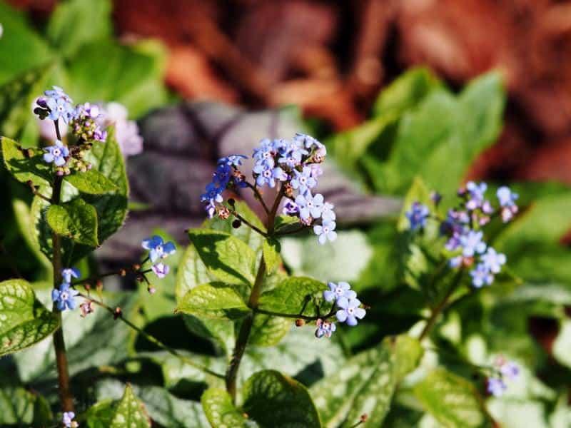 Siberian bugloss_Brunnera macrophylla 'Jack Frost'