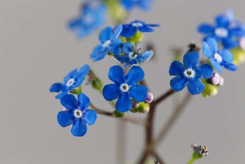 Siberian bugloss_Brunnera macrophylla