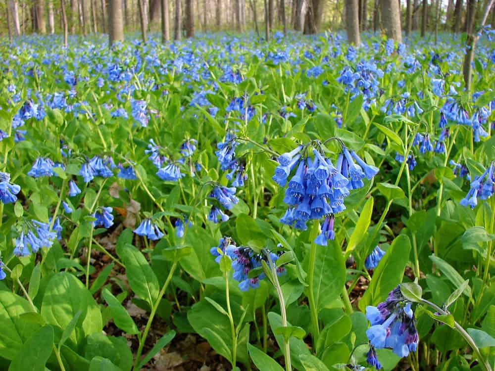 Virginia-bluebells_Mertensia-virginica