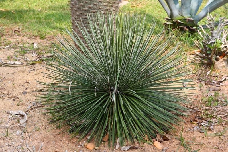 agave_Agave geminiflora RASTA MAN