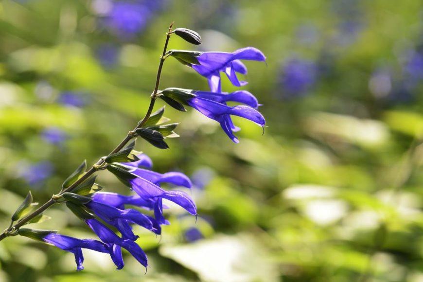 anise-scented sage_Salvia guaranitica
