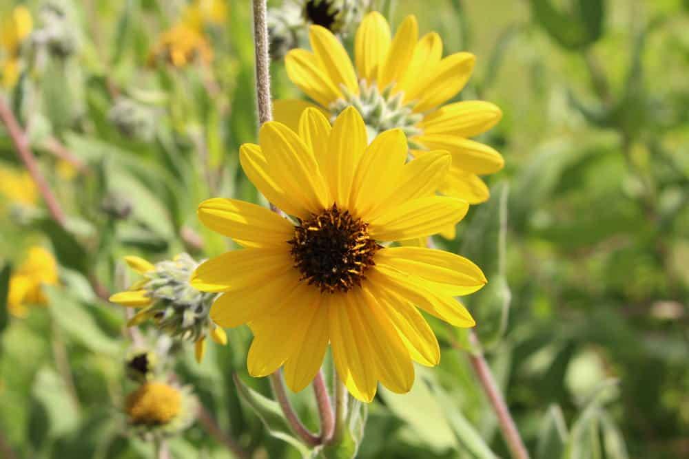ashy sunflower_Helianthus mollis