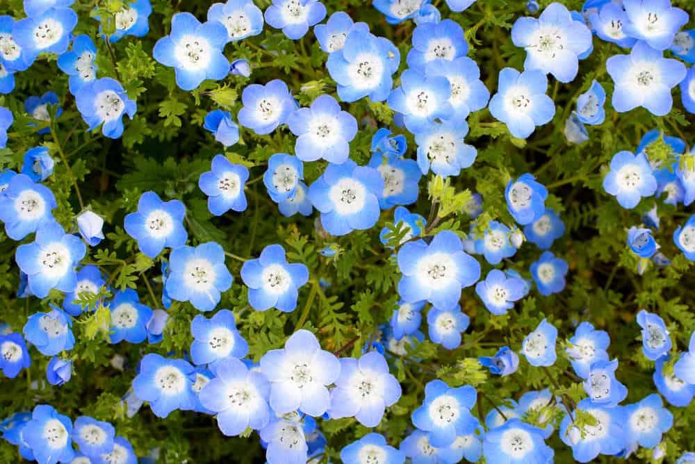 baby-blue-eyes_Nemophila-menziesii