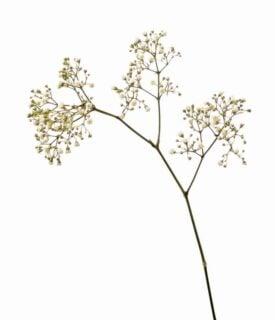 "Baby's breath (Gypsophila paniculata ""Bristol Fairy"")"