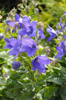 "Balloon flower (Platycodon grandiflorus ""Astra Blue"")"