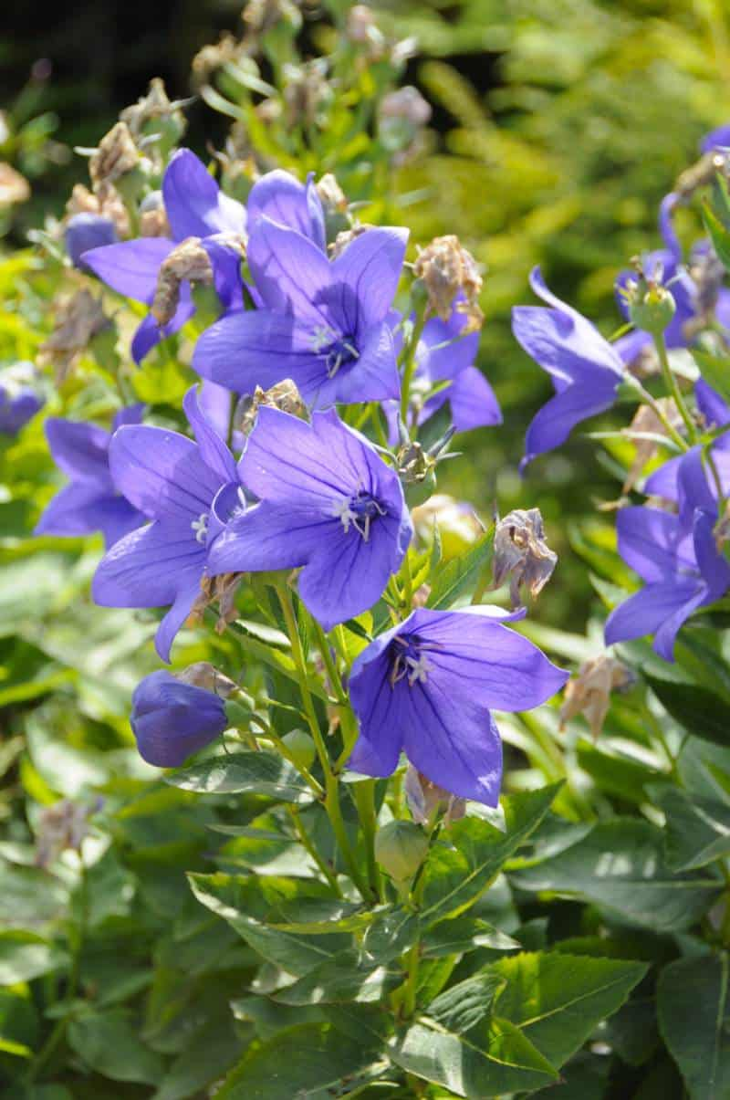 balloon flower_Platycodon grandiflorus 'Astra Blue'