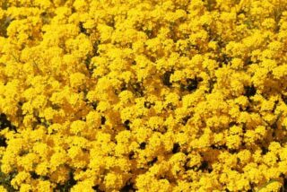 "Basket of gold (Aurinia saxatilis ""Gold Dust"")"