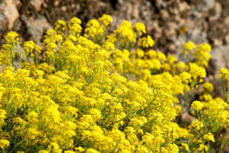 basket-of-gold_Aurinia saxatilis