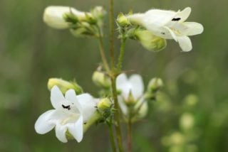 Beardtongue (Penstemon digitalis)