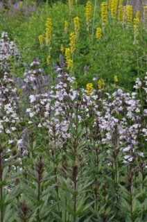 "Beardtongue (Penstemon digitalis ""Husker Red"")"