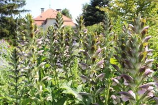 Bear's breeches (Acanthus hungaricus)