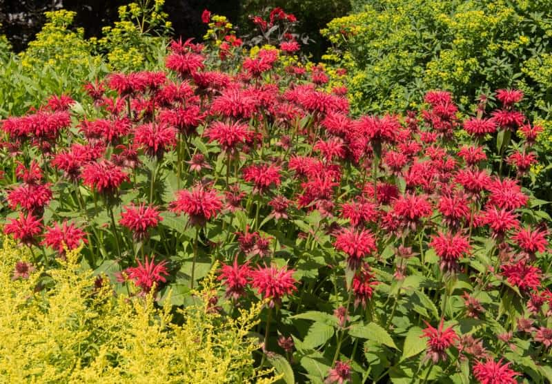 bee balm_Monarda 'Gardenview Scarlet'