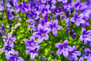 "Bellflower (Campanula ""Summertime Blues"")"