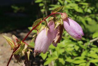 "Bellflower (Campanula takesimana ""Elizabeth"")"