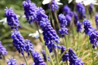 Big blue lilyturf (Liriope muscari)