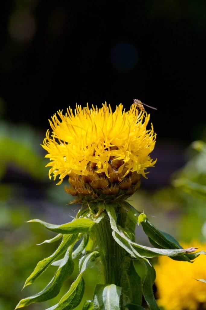 bighead knapweed_Centaurea macrocephala