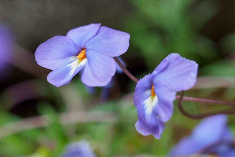 bird's foot violet_Viola pedata