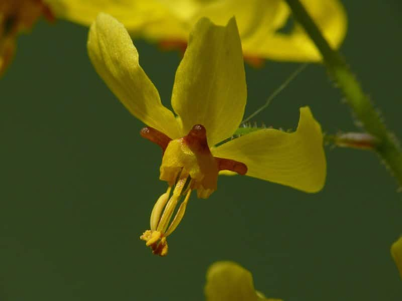 bishop's hat_Epimedium × versicolor 'Sulphureum'