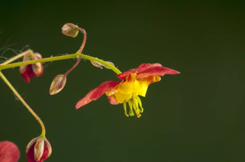 bishop's hat_Epimedium × warleyense