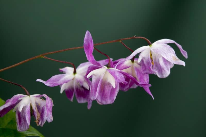 bishop's hat_Epimedium × youngianum