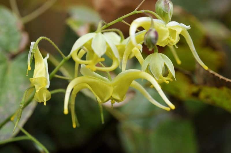 bishop's hat_Epimedium lishihchenii