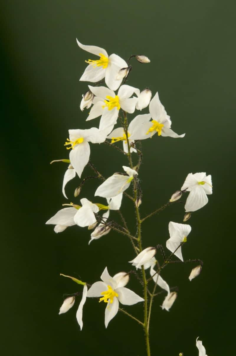 bishop's hat_Epimedium stellulatum