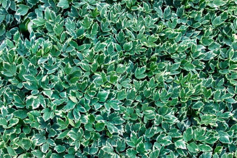bishop's weed_Aegopodium podagraria_ 'Variegatum'